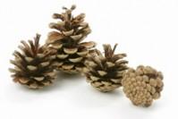 Pine Cones Austriaca